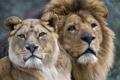 Картинка взгляд, кошки, лев, пара, львы, львица, морды
