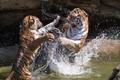 Картинка вода, брызги, тигры, зоо