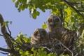 Картинка дерево, гнездо, совы, птенцы, Большая рогатая сова