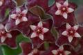 Картинка розовый, цветок, Hoya pubicalyx, Chimera, Merr, звездочки