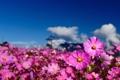 Картинка поле, небо, цветы, размытость, космея