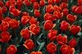 Картинка луг, обои, тюльпаны, клумба, красный