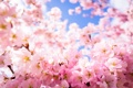 Картинка красота, лепестки, сакура, цветение