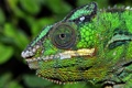 Картинка глаз, хамелеон, цвет, голова, рептилия