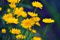 Картинка лето, цветы, ромашки, сочно