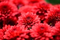 Картинка макро, цветы, лепестки, красные, хризантемы