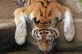 Картинка тигр, жажда, водопой