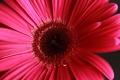 Картинка цветок, розовый, гербера
