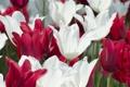 Картинка лепестки, сад, луг, тюльпаны, клумба