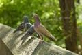 Картинка птицы, забор, голуби