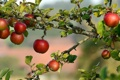 Картинка природа, яблоки, сад