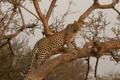Картинка хищник, леопард, грация, Африка, дикая кошка, на дереве