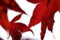 Картинка осень, кленовый лист, листва, листья, белый, фон, макро
