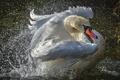 Картинка брызги, лебеди, splashes, Swan, шипун, mute