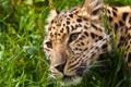 Картинка кошка, трава, взгляд, морда, леопард, амурский леопард