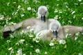 Картинка травка, природа, маленькие гусята, цветы