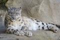 Картинка снежный барс, камни, ирбис, ©Tambako The Jaguar, кошка