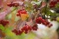 Картинка ягоды, красная, калина, Viburnum