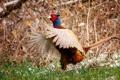 Картинка природа, птица, Fasan