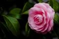 Картинка цветок, листья, макро, розовый