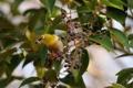 Картинка листья, ягоды, дерево, птица, крона