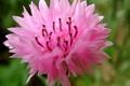 Картинка цветок, розовый, лепестки, размытость, тычинки