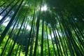 Картинка зелень, лес, Природа, растения, бамбук