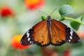 Картинка макро, бабочка, листик, Данаида хризипп