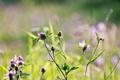 Картинка поле, лето, макро, цветы, природа, вечер, клевер