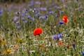 Картинка ромашка, трава, лето, луг, мак, макро, цветы