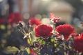 Картинка листья, свет, цветы, розы, лепестки