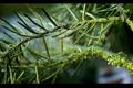 Картинка мох, ветка, сосновая