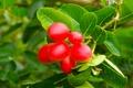Картинка листья, ветки, ягоды