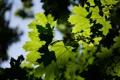 Картинка зелень, лето, макро, природа, листва
