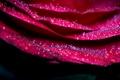 Картинка цветок, капли, макро, розовый, роза, лепестки