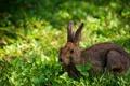 Картинка заяц, поле, природа, лето