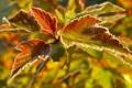 Картинка листья, изморозь, иакро