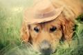 Картинка фон, собака, шляпа