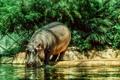 Картинка животные, бегемот, бегемот в Берлинском зоопарке