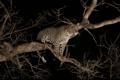 Картинка ночь, хищник, леопард, дикая кошка, на дереве, молодой