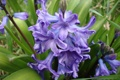 Картинка цветы, весна, гиацинт