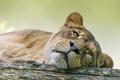 Картинка кошка, взгляд, морда, львица, ©Tambako The Jaguar