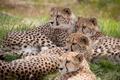 Картинка кошки, гепард, отдых, гепарды, семья