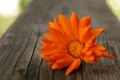 Картинка цветок, макро, Календула