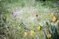 Картинка трава, цветы, тюльпан