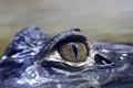 Картинка природа, глаз, крокодил