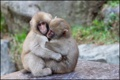Картинка обезьянки, снежные, детеныши, замерзли