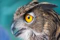 Картинка сова, птица, глаза, окрас, макро