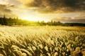 Картинка небо, рассвет, Warm Sunrise, золотые, поле, пшеница, колоски