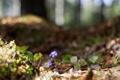 Картинка природа, Hepatica, цветы